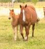 Arrowhead JJ and her 2014 filly Arrow Maid 45 by Latigo 45